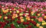 Wiosenne tulipany
